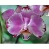 Орхидеи почтой по России